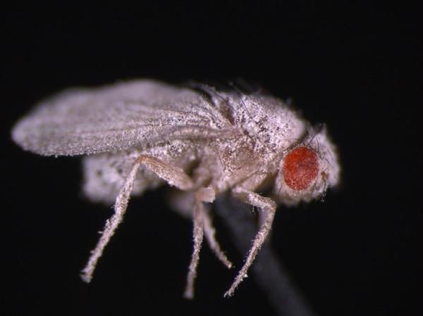 ذبابة فاكهة مصابة بالفطريات. فـذباب الفاكهة الذي وُضع على متن محطة الفضاء الدولية أظهر ضعف مناعة ضد الالتهابات الفطرية في مرحلة ما بعد الرحلة الفضائية. Credit: ديبورا كبريل
