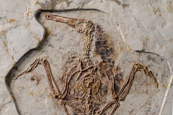 ماذا حدث للطيور المخالفة؟ حقوق الصورة: لـ Stephanie Abramowicz من كتاب طيور الحجر Birds of Stone : أحافير الطيور الصينية من عصر الديناصورات من تأليف Luis M. Chiappe و Meng Qingjin