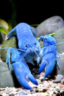 اللون الأزرق الساطع قد يساعدك في تأمين شريك ونشر مورّثاتك