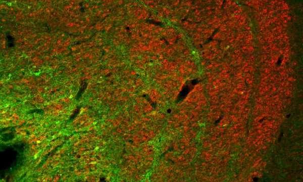 عصبونات كونيو (بالأخضر) في النواه الركبية الوحشية.  حقوق الصورة: معهد ماكس بلانك لعلوم التحكم الآلي الحيوية