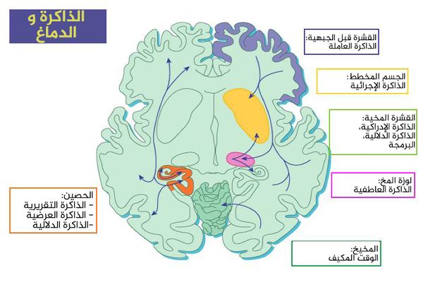 الشكل 1: الذاكرة والدماغ. حقوق الصورة: Eichenbaum Figure for Scholarpedia