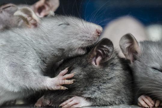 يضع هذا البحث آفاقاً جديدة باكتشافه استتباباً عصبياً عند فئران تتصرف بحرّية. حقوق الصورة: © vitaly tiagunov / Fotolia
