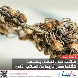 عناكب عذراء تضحي بنفسها لتأكلها صغار أقاربها من العناكب الأخرى