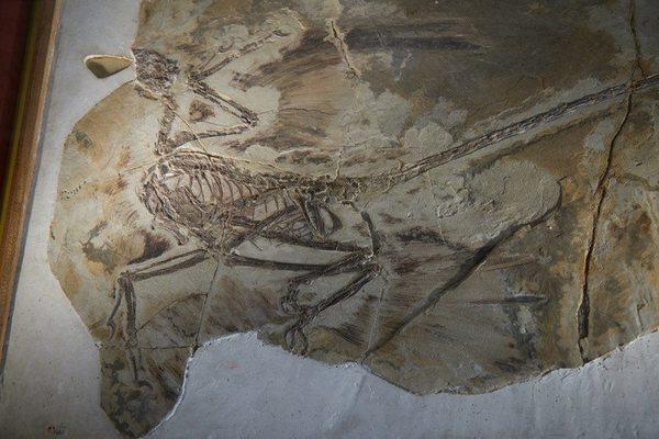 المايكرورابترغي ذو الأربعة الأجنحة حقوق الصورة Dinosaurs of China