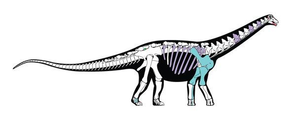 هذا إعادة بناء لهيكل ديناصور Mansourasaurus shahinae يعود لقرابة 80 مليون سنة ماضية. إن العظام الملونة هي تلك المحفوظة من المستحاثات الأصلية، أما العظام الأُخرى فهي معتمدة على ديناصورات أُخرى وثيقة الصّلة بها. حقوق الصورة: آندرو أم سي آفي Andrew McAfee/ مُتحف كانيغي للتاريخ الطبيعي Carnegie Museum of Natural History.