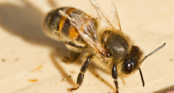 التحالف الثنائي؛ يمكن أن يتسبب فيروس الجناح المشوه في شلل لنحل العسل باستهدافه لأجنحتها أثناء نموها. تقترح دراسة جديدة أن الفيروس يمكن أن يسهل لأكاروس الفاروا المدمر (طفيليات) أن يتغذى ويتكاثر على النحلات الفتيّات.