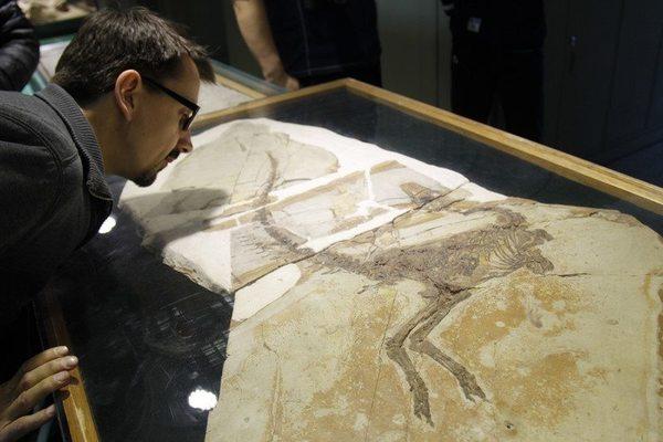 يفحص آدم سميث Adam Smith ملوك الديناصورات، السيناصوروبتركس Sinosauropteryx. حقوق الصورة: ديناصورات الصين Dinosaurs of China