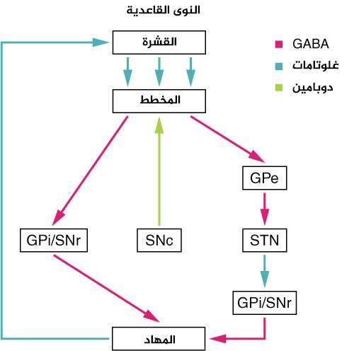 الشكل 5: وصلات النوى القاعدية: الدخل القادم إلى العقد القاعدية يكون من قشرة المخ، وهي وصلة تحفيزية تفرز الغلوتامات كناقل عصبي. يصل هذا الدخل إلى المخطط (النواة الذنبية والبطامة). في السبيل المباشرة، يطلق المخطط المحاوير إلى الجزء الداخلي من الكرة الشاحبة وإلى الجزء الشبكي من المادة السوداء (GPi/SNr). وهذه سبيل تثبيطية، حيث يتم إفراز GABA في المشبك، وتصير الخلايا المستهدفة مفرطة الاستقطاب hyperpolarized وأقل احتمالية لأن تمرر تيارًا عصبيًا. يكون الخرج من النوى القاعدية إلى المهاد، وهي سبيل تثبيطي يستخدم GABA