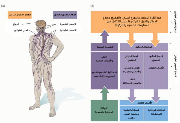 """المكونات الأساسية للجهاز العصبي و علاقاتها الوظيفية. (أ) الجهاز العصبي المركزي (CNS) ومكوناته، الدماغ والحبل الشوكي، والجهاز العصبي الطرفي (PNS) ومكوناته، الأعصاب القحفية والشوكية. (ب) رسم بياني للمكونات الأساسية في الجهاز العصبي المركزي والطرفي وعلاقاتها الوظيفية. تنقل المنبهات الخارجية من البيئة المعلومات إلى دوائر محللة موجودة في الدماغ والحبل الشوكي، والتي تقوم بتحليل أهمية هذه المعلومات وإرسال إشارات إلى المؤثرات الطرفية التي تحرك الجسم وتتحكم بعمل الأعضاء الداخلية للجسم. حقوق الصورة: أعيد إنتاج الصورة المترجمة من """"Neuroscience. Fourth Edition. Fig. 1.10"""" provided by Dr. Purves."""