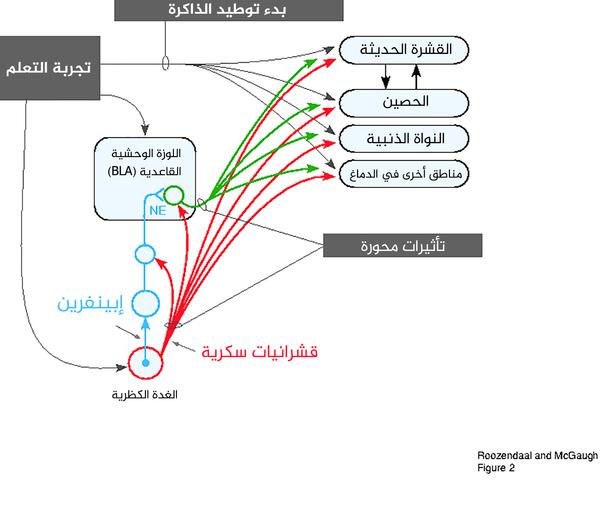 الشكل 2: يلخص عملية التفاعل بين الـ BLA والأنظمة الأخرى في تنظيم عملية توطيد الذاكرة