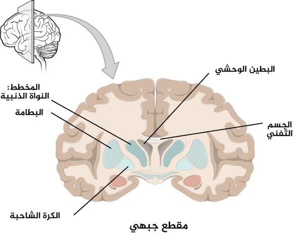 الشكل 4: مقطع عرضي لقشرة الدماغ والنوى القاعدية: المكونات الرئيسة للنوى القاعدية، والمبنية في المقطع الجبهي للدماغ، هي النواة الذنبية (على الجانب الوحشي للبطين الوحشي في الصورة)، والبَطامَة (أسفل النواة الذنبية وتفصلهما بنية من مادة بيضاء تدعى بالمحفظة الغائرة)، والكرة الشاحبة (في الجانب الإنسي من البطامة).
