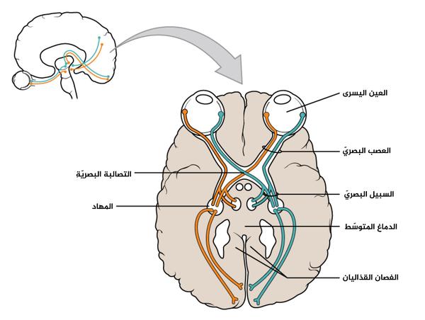 يوضح هذا الرسم للوصلات بين العين والدماغِ العصبَ البصريّ الذي يمتد من العين وحتى التصالُبة، حيث يكمل طريقه كسبيل بصريّ. تمتد المحاوير نفسها من العين وحتى الدماغ عبر هاتين الحزمتين من الألياف، ولكن التصالبة تمثّل الحد الفاصل بين الجهاز العصبيّ المركزيّ والطرفيّ.}