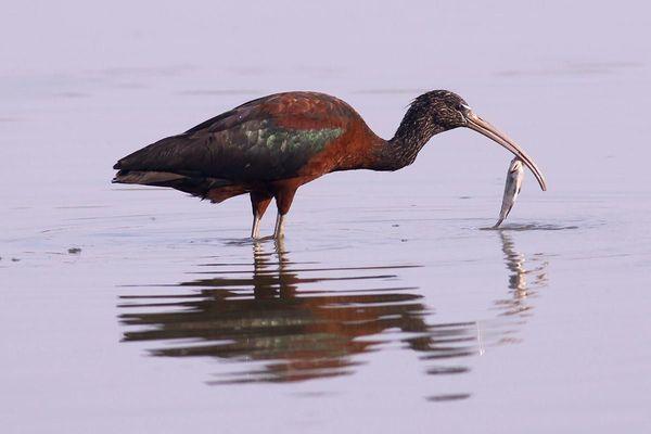 طائر أبو منجل الأصلع يلتقط السمك من الماء. أبو منجل الأصلع: خسائر حرب! مصدر الصورة: غيتي Getty