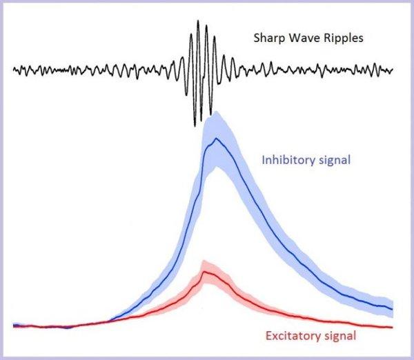 خلال التموجات الدماغية الحادة sharp wave ripples-SWRs (أعلى الرسم) فإن الفعل التثبيطي (المنحنى الأزرق) يظهر موجات ذات سعة أكبر مما لو تم التحفيز بإشارة تنشيط (المنحنى الأحمر). ما يعني أن التثبيط هو الذي يشكل حجر الأساس في الآلية التي تنشأ من خلالها الموجات الدماغية