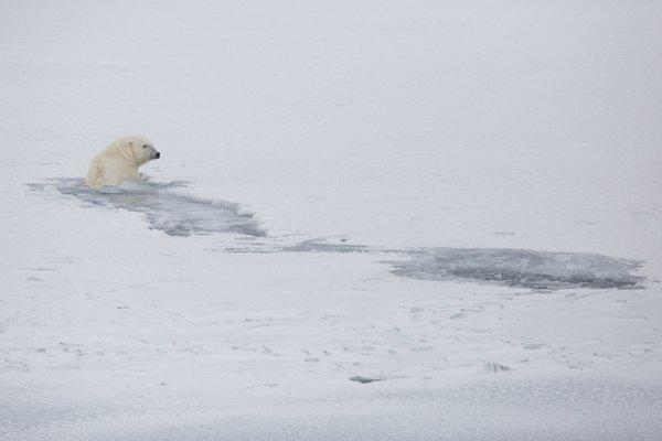 دب قطبي يسبح في سفالبارد. تكون المضايق عادة مغطاة جزئياً بالجليد البحري، ولكن في الشتاء الماضي أحاطت المياه المفتوحة بمعظم الأرخبيل. تصوير: نيك كوبينغ Nick Cobbing/لصالح منظمة غرينبيس Greenpeace