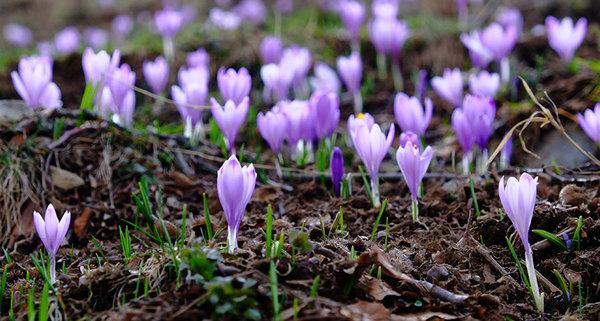 تقدُّم الربيع. تشير بحوث جديدة إلى أن وصول أزهار وأوراق الربيع مبكرا بسبب تغير المناخ يؤدي إلى تضخيم شدة وتكرارية وكذا مدّة موجات الحرارة في أوروبا.