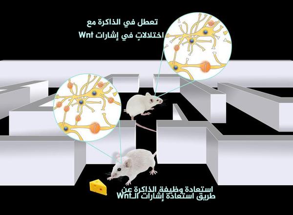 وجد الباحثون أن تفعيل البروتين Dkk1 عند الفئران البالغين يتسبب في مشاكل في الذاكرة وذلك بالتوافق مع وجود مشابك أقل بين الخلايا العصبية، مما ينتج عنه عرقلة للاتصال، ولكن عندما كبح الباحثون البروتين Dkk1 لم يبقَ عند الفئران أي مشاكل بالذاكرة، حيث ازداد عدد المشابك وعاد إلى المستويات الطبيعية وعادت سبل الدماغ إلى طبيعتها. حقوق الصورة: UCL press release