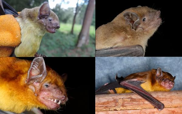 يمكن أن يتراوح لون الفراء لدى خفافيش السكوتوفيلوس بين البني الفاتح والبرتقالي النابض بالحياة. حقوق الصورة: P.W. Webala, Maasai Mara University