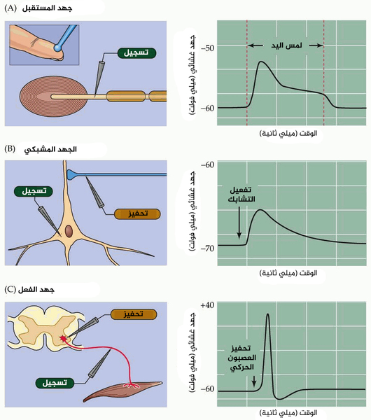 """أنواع الإشارات العصبية الكهربائية. في كل الحالات يستخدم إلكترود مكروي لقياس التغيرات في جهد الراحة الغشائي resting membrane potential خلال الإشارات المحددة. (أ) لمس خفيف يؤدي إلى جهد مستقبل receptor potential في جسيم باشيني Pacinian corpuscle في الجلد. (ب) تفعيل تماس مشبكي على عصبون موجود في الحصين (hippocampus) يثير جهدًا مشبكيًا. (ج) تحفيز انعكاسات شوكية ينتج جهد فعل في عصبون شوكي حركي. حقوق الصورة: أعيد إنتاج الصورة المترجمة من """"Neuroscience. Fourth Edition. Fig. 2.1"""" provided by Dr. Purves."""