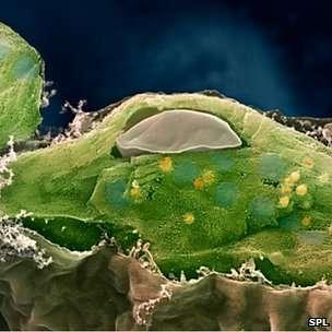 آلية حصاد الطاقة في النباتات هي آلية كمومية