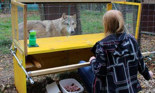 صورة للباحثة الرئيسية ميشيل لامب أثناء إجرائها اختباراً مع ذئب. نُشرت النتائج في مجلة Scientific Reports. حقوق الصورة: Felicity Robinson, Wolf Science Center.