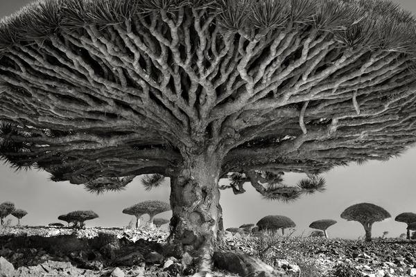 الأشجار الأقدم والأضخم على الإطلاق في العالم