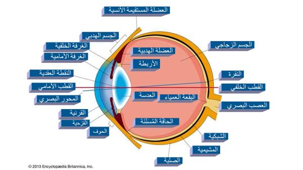 مقطع أفقي معترض لعين الإنسان اليمنى يظهر الأجزاء الرئيسية للعين. حقوق الصورة: Encyclopædia Britannica, Inc