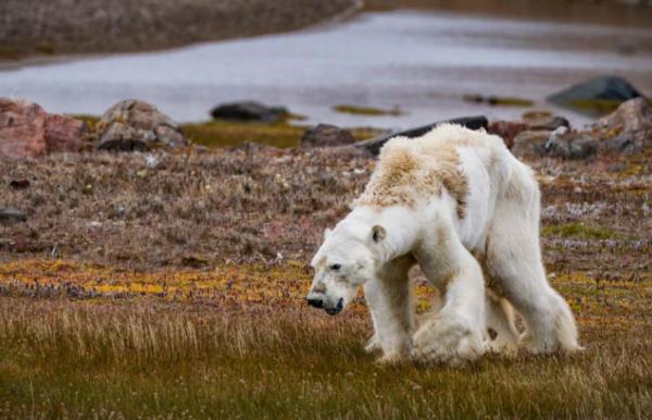 يؤثر تغير المناخ على النباتات والحيوانات في القطب الشمالي. على الرغم من عدم معرفة العلماء على وجه التحديد ما الذي قتل هذا الدب القطبي الفردي، إلا أن الخبراء يحذرون من أن العديد من الدببة يواجهون صعوبة في العثور على الغذاء بسبب أن الجليد الذي تعتمد عليه الدببة على مدى التاريخ يزداد رقةً ويذوب مبكراً. حقوق الصورة: Photograph By Cristina Mittermeier, Nat Geo Image Collection