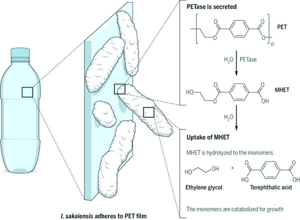 تحلل عبوة بلاستيكية صورة توضيحية: بي. هوي P. Huey. أعيد طباعتها بموافقة يو. تي. بورنشيور U.T. Bornscheuer, Science 351:1154 2016