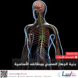 بنية الجهاز العصبيّ ووظائفه الأساسية