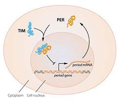 الشكل 2B: رسم توضيحي مبسط للمكونات الجزيئية للساعة الحيوية.