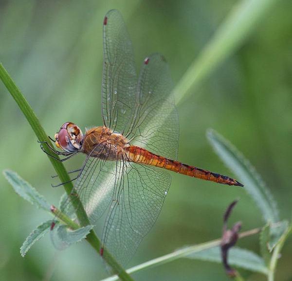 اليعسوب Pantala flavescens طيار مثير للدهشة