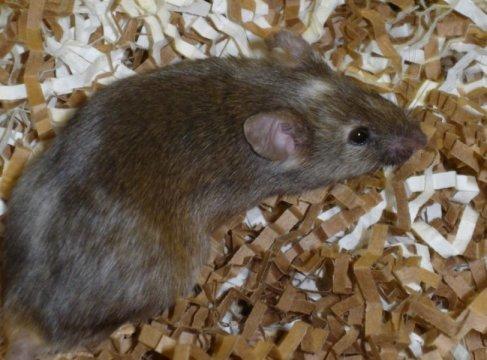 إنقاص مستويات البروتين nSR100 إلى النصف كان كافيًا لإحداث سلوك شبيه بالتوحد عند الفئران. حقوق الصورة: ماثيو كويسنيل فاليريز Mathieu Quesnel Vallieres