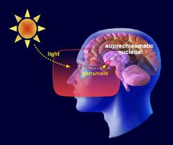 علوم الأعصاب خلال دقيقتين: النُوى فوق التصالب البصري