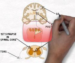 علوم الأعصاب خلال دقيقتين: الألم والجهاز الأمامي الجانبي