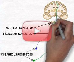 علوم الأعصاب خلال دقيقتين: حس اللمس وسبيل الحبل الظهري- الفتيل الأنسي
