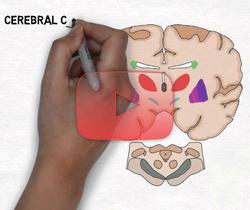 علوم الأعصاب خلال دقيقتين: العقد القاعدية