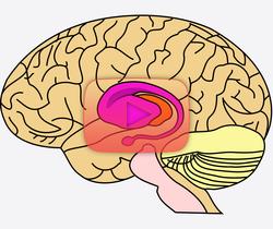 علوم الأعصاب خلال دقيقتين: الجسم المخطط.