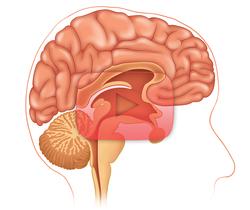 علوم الأعصاب خلال دقيقتين: البصلة السيسائية