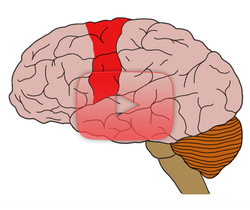 علوم الأعصاب خلال دقيقتين: القشرة الحركية