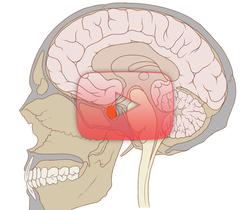 علوم الأعصاب خلال دقيقتين: الوطاة والغدة النخامية