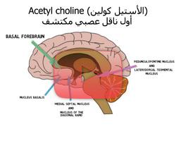 علم الأعصاب خلال دقيقتين: الأستيل كولين