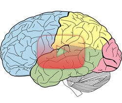 علوم الأعصاب خلال دقيقتين: فصوص الدماغ وبعض المعالم الكبيرة