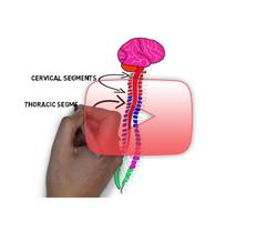 علوم الأعصاب خلال دقيقتين: المظهر الخارجي للنخاع الشوكي
