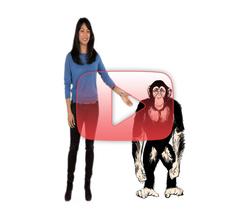 لماذا الشمبانزي أقوى من البشر؟